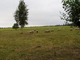 Lambad on siin ja lambad on seal - vagurad head, vagurad head, vagurad head.